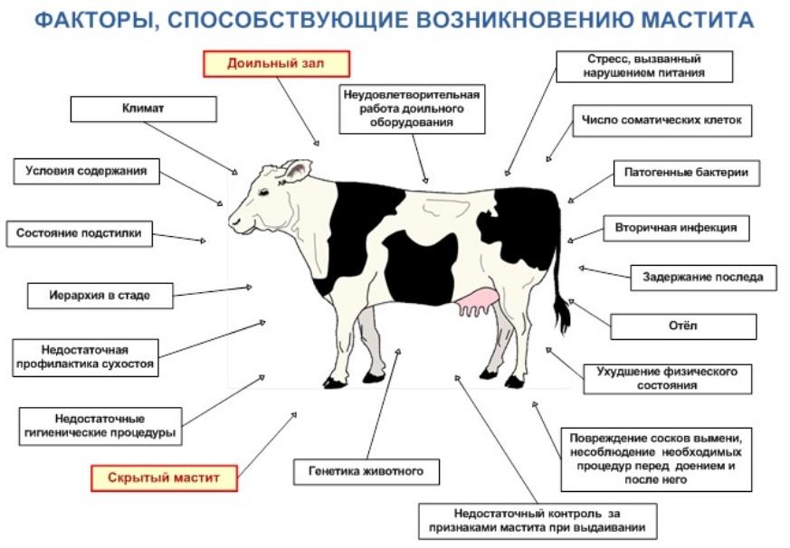 Причины появления мастита у коров